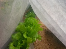 Tenting the lettuce will help keep the production throughout the hot summer.