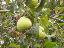 Picking the Perfect Pear