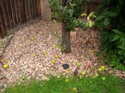 The Fallen Pears